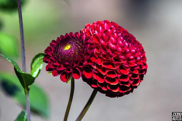 Dahlia_Twins_Red_Flowers_MGC_Garden_Seattle_PNW