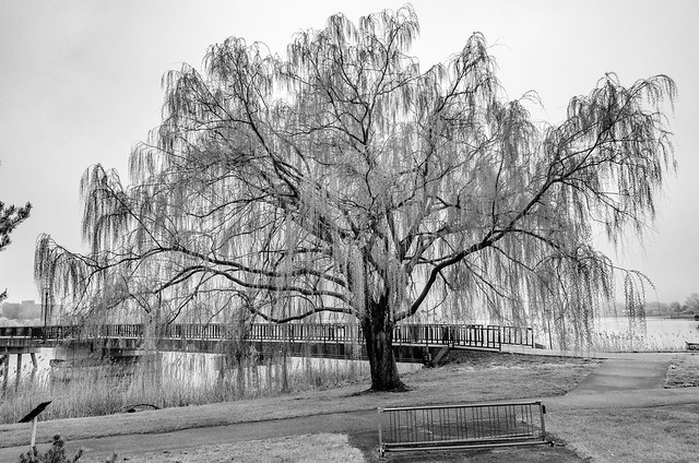 Willow by the Saginaw River in the Bay Fitness Park. Bay City, Michigan