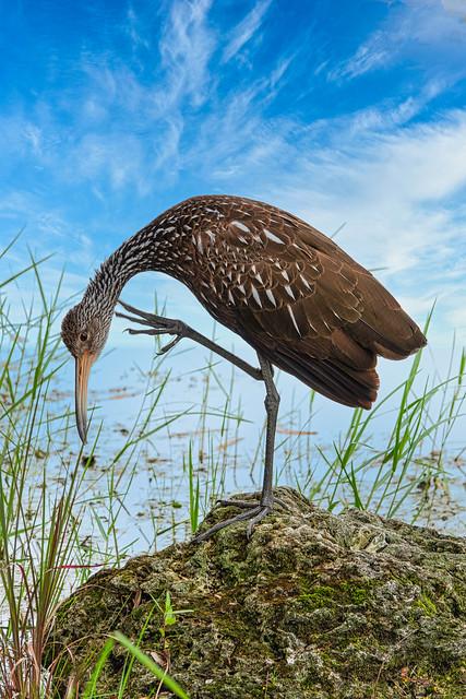 Limpkin: Bird Ballet