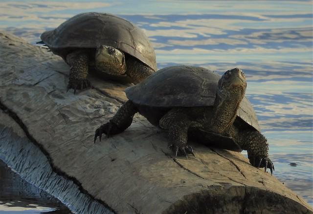 Native Western Pond Turtles