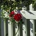 Red Rose blossom against picket PCV  fence