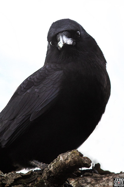 Seattle_Crow_1030