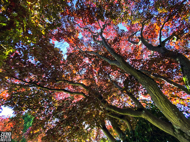 Beautiful Trees_Colorful_Autumn_Walking_Wedgwood_Seattle_PNW_Color