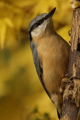 Nuthatch with autumnal foliage of acer
