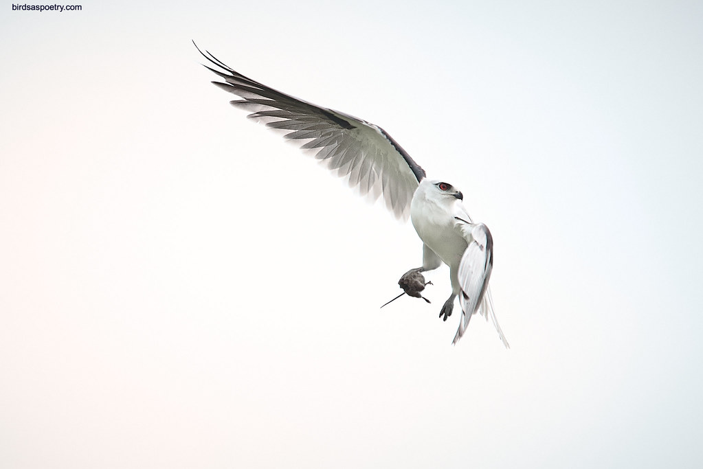 Black-shouldered KIte: The Casual Approach