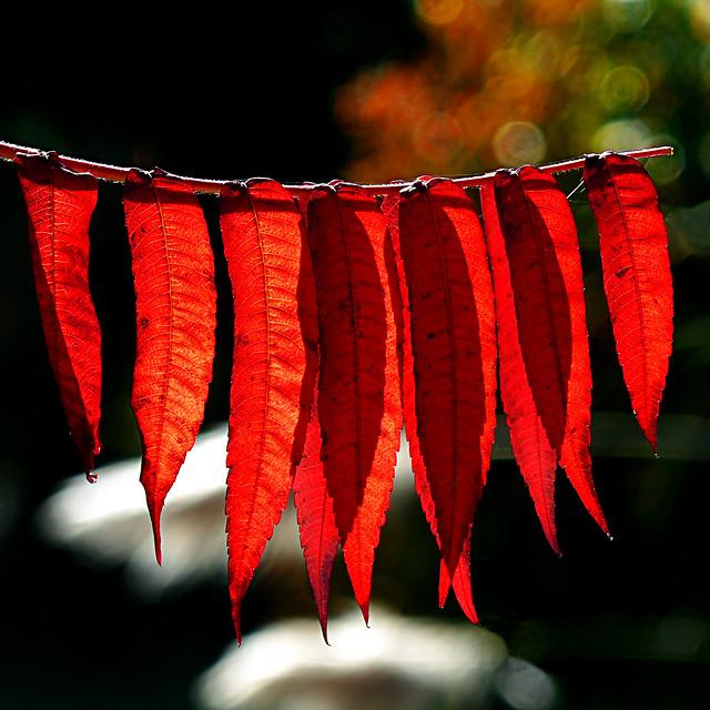 Sumac vinaigrier - Rhus typhina