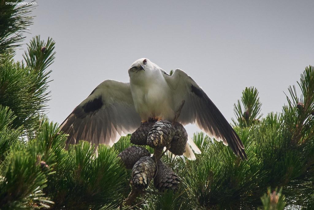 Black-shouldered Kite: Sun-hazing