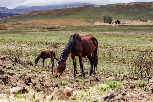 Grazing horses (In Explore)