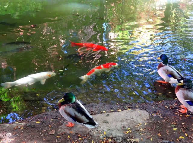 Mallard Ducks and Koi Fish