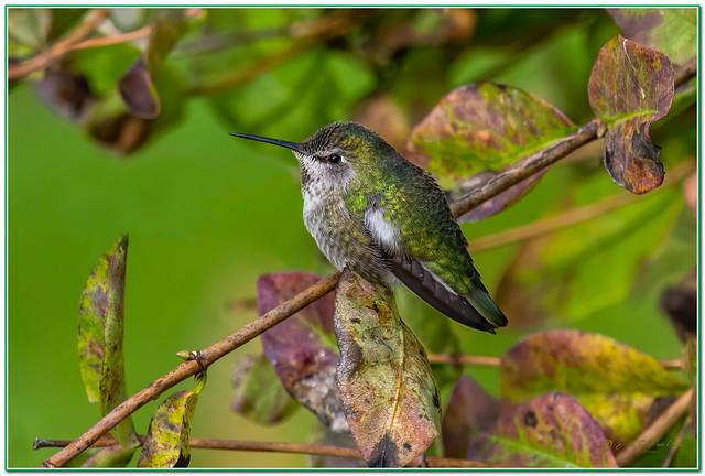 Anna's-Hummingbird