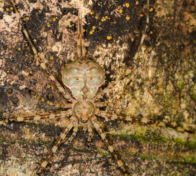 Hersiliidae - Spider