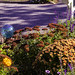 Our garden in the fall with its chrysanthemums sedum and salvia