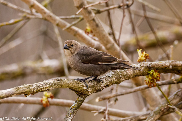 Brown-Headed Cowbird #2 - 2020-04-19