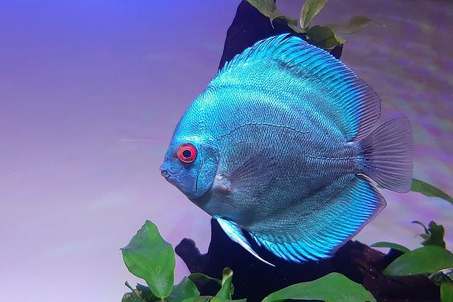 From my Discus Aquarium- II