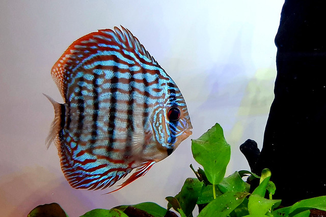 From my Discus Aquarium- III