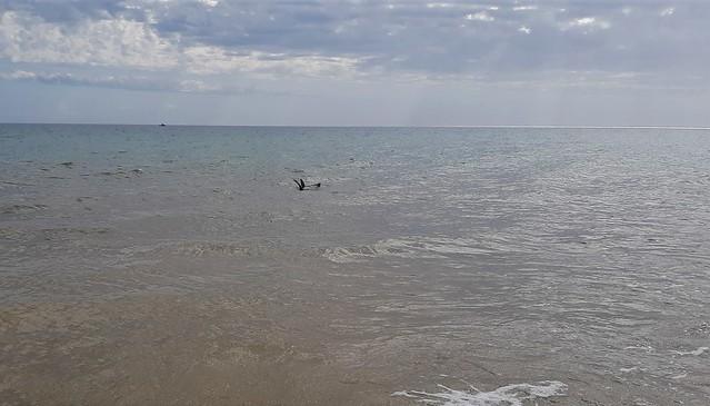 Adelaide. Brighton Beach. A seal frollicking near the shore line.