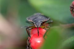 Punaise Verte Puante - Southern Green Shieldbug - Nezara viridula