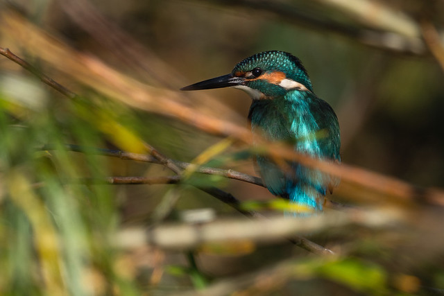Hidden Kingfisher