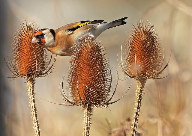 Goldfinch, Tidemills, Oct 25 2021, P1 (6)