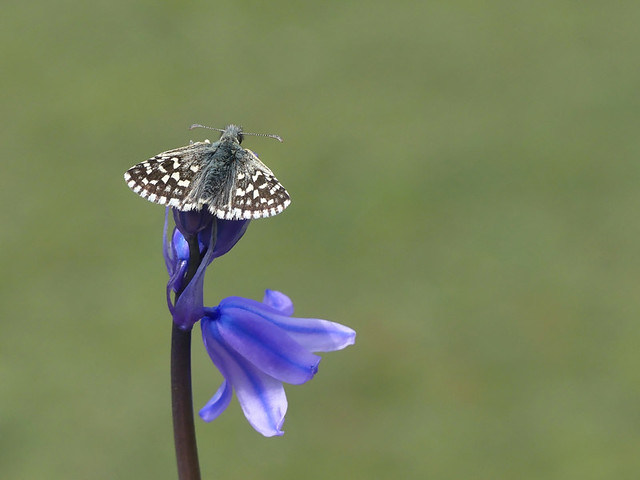 Male Grizzled Skipper Butterfly, on Bluebell. No Cropping.