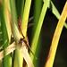 Eiablage Heidelibelle an Wasserpflanze
