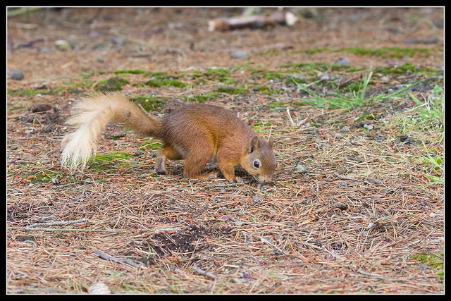 _MG_0101 Red Squirrel