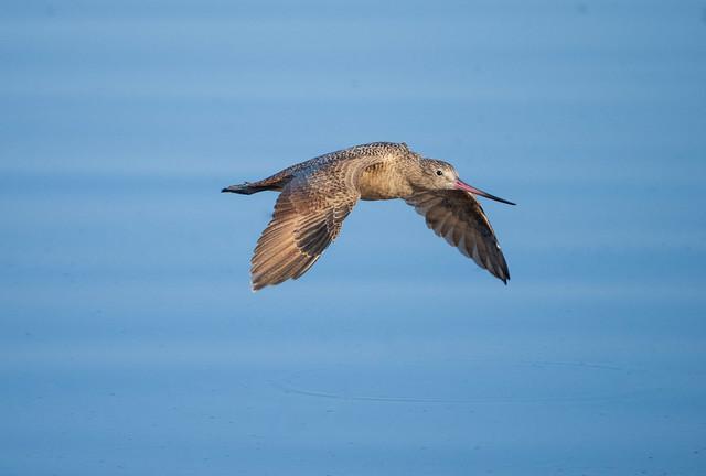 Godwit in Flight