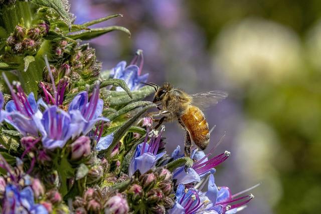 Honey Bee _MG_5946