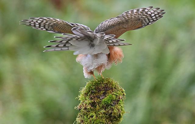 Sparrowhawk ( Rear View)