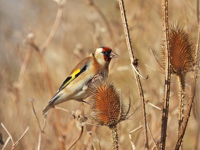 Goldfinch, Tidemills, Oct 25 2021, P1 (9)