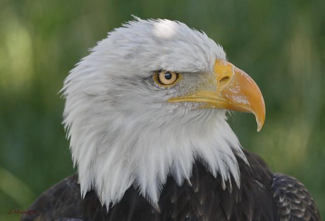 Aguila calva IMG 6225