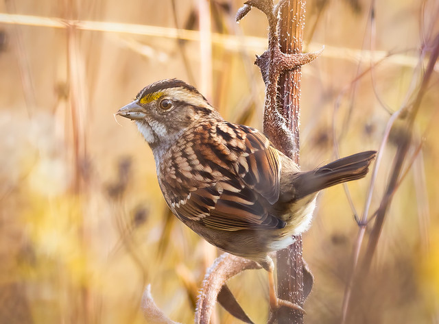 White-throated Sparrow-2