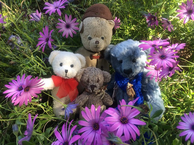 Paddington and Scout and the Cape Marguerites