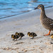 Mallard duck and ducklings at the waterfront