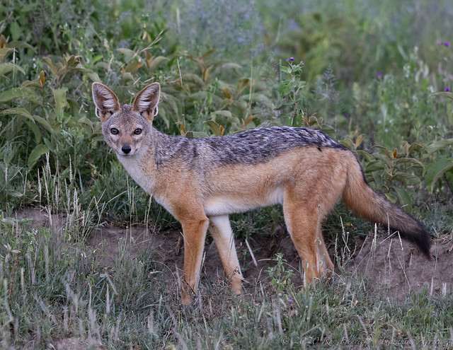 An adult Black-backed Jackal (Canis mesomelas) gives a long look before vanishing into the undergrowth