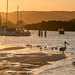 Golden sunset light with pelicans, seagulls and boats in the channel
