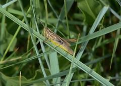 Criquet à la croisée des chemins ... de brins d'herbe