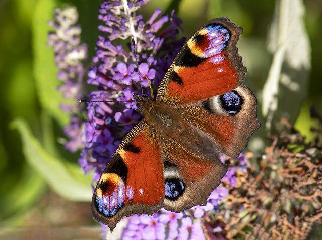 Peacock Butterfly (Barry's)