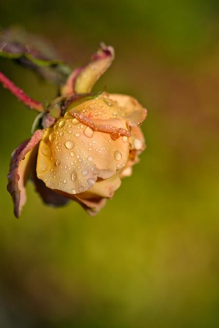 Rose on a misty morning