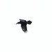 Kolkrabe (Corvus corax) - Beleg