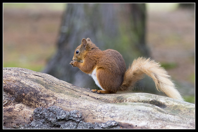 _MG_0108 Red Squirrel