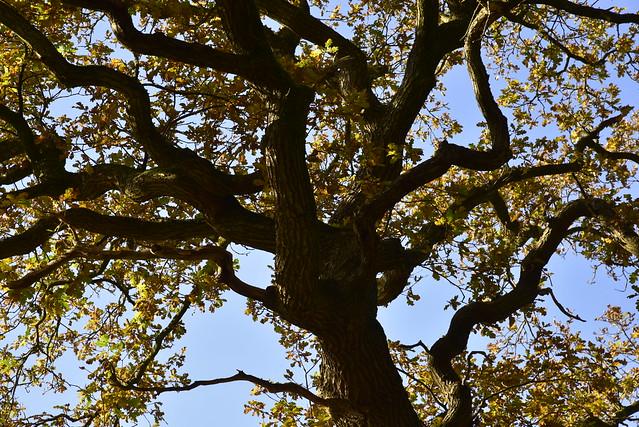 Am Lehmsieker Wald - Stiel-Eiche (Quercus robur); Schwabstedt, Nordfriesland (34)
