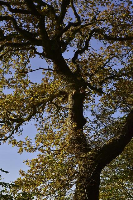 Am Lehmsieker Wald - Stiel-Eiche (Quercus robur); Schwabstedt, Nordfriesland (32c)