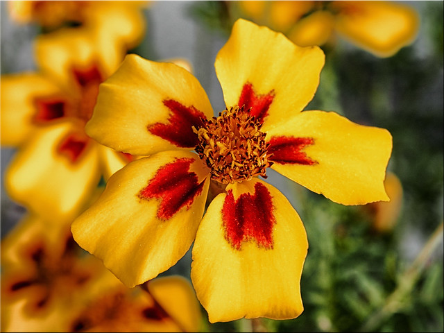 Macro shot of a bloom of the  Tagetes