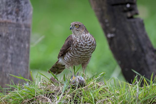 Sparrow Hawk & Kill. 1