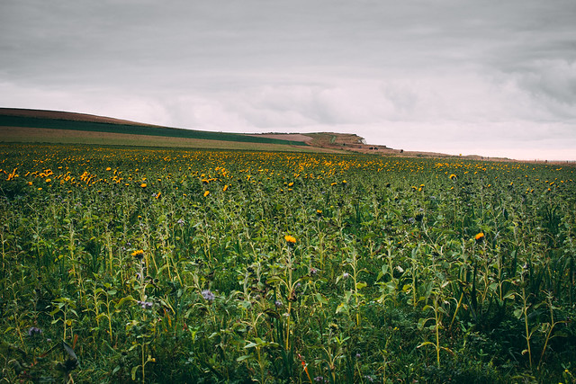 Sunflower Cap Blanc Nez, France