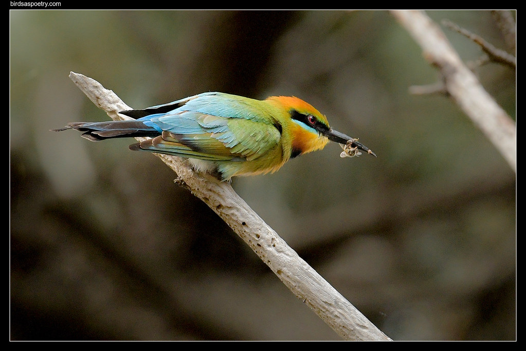 Rainbow Bee-eater: The Quick Visit