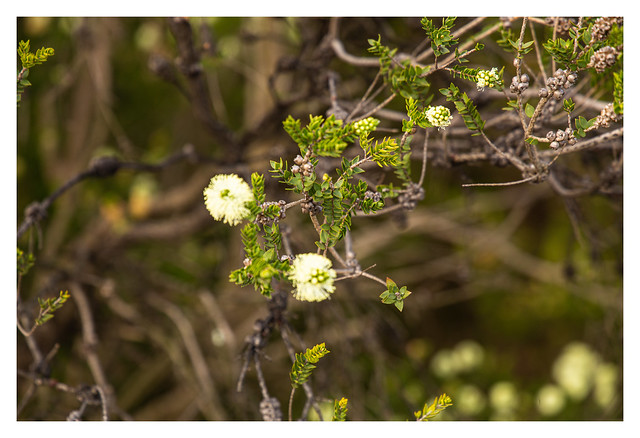 Calistemon flowers