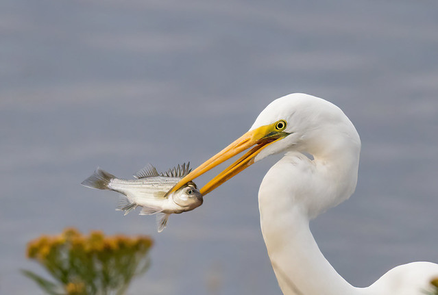 Great Egret with White Perch