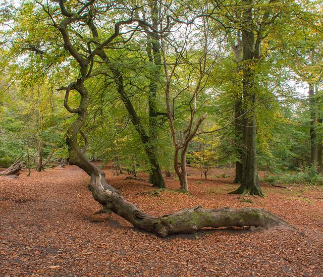 Weird tree at Alderley Edge